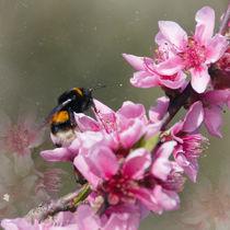 Hummel auf Pfirsichblüte von Chris Berger