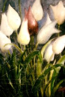 Tulpen - Die Rote unter Weißen by Chris Berger