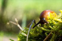 Ein Pilzschnegel schleicht übers Moos by Ronald Nickel