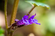 Die blau-violetten Blüten des Gundermann von Ronald Nickel