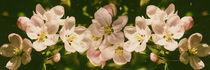 Apple blossoms  - Apfelblütenpanorama von Chris Berger