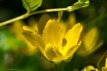 Die gelben Blüten des Pfennig-Gilbweiderich von Ronald Nickel