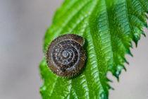 Eine Haarschnecke auf einem grünem Blatt by Ronald Nickel