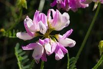 Die Blüte der Bunten Kronwicke von Ronald Nickel
