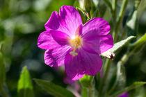 Die Blüte des Zottigen-Weidenröschen von Ronald Nickel