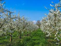 Blühende Obstbäumchen von Christine Horn