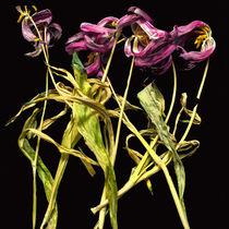 Tulpen suf schwarzem Grund by Silke Günther