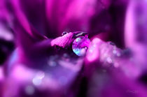 Tropfen auf Irisblüte von Nicc Koch