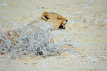 NAMIBIA ... The Lioness I von meleah