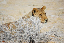 NAMIBIA ... The Lioness II von meleah