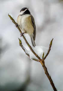 Black Capped Chickadee von Tim Seward