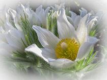 Küchenschelle mit weißen Blütenblättern von Christine Horn