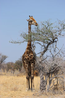 NAMIBIA ... eating giraffe by meleah