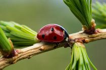 Ein Marienkäfer auf einem Lärchenzweig by Ronald Nickel