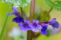 Die blauen Lippenblüten des Gundermann by Ronald Nickel