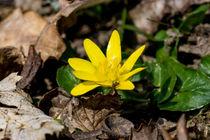 Die gelbe Blüte der Feigwurz by Ronald Nickel