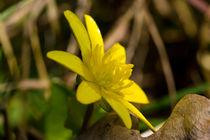 Die gelbe Blüte des Scharbockskraut by Ronald Nickel