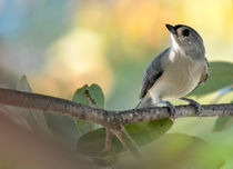 Tufted Titmouse 1 by Tim Seward