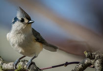 Tufted Titmouse 2 by Tim Seward