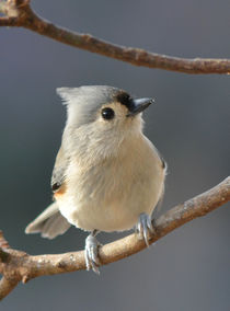 Tufted Titmouse 3 by Tim Seward