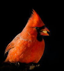 Northern Cardinal 1 by Tim Seward