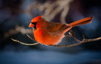 Northern Cardinal 2 by Tim Seward