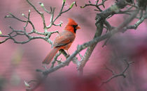 Northern Cardinal 3 by Tim Seward