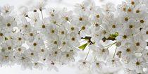 Blütentraum von Bettina Schnittert