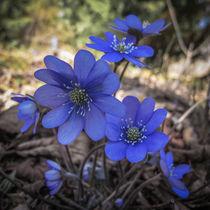 Blaue Farbtupfer im Buchenwald von Christine Horn