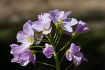 Die Blüte des Wiesenschaumkraut von Ronald Nickel
