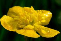 Regentropgfen auf der Butterblume von Ronald Nickel