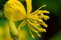 Die gelbe Blüte des Schöllkraut von Ronald Nickel