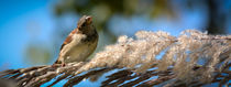 House Sparrow 1 by Tim Seward