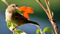House Sparrow 4 von Tim Seward