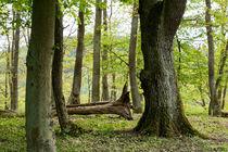Alte Bäume im frühlingshaften Wald by Ronald Nickel