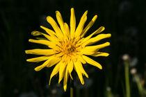 Die Gelbe Blüte des Wiesen-Bocksbart by Ronald Nickel