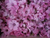 Malvenblüten von tinta3