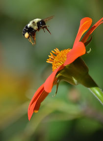 Bee and Mexican Sunflower von Tim Seward