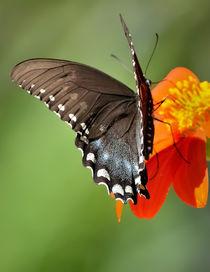 Butterfly  von Tim Seward