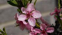 Rosafarbene Pfirsichblüten von Ronald Nickel