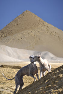 Whippets im Sand by Chris Berger