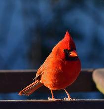 Cardinal by David Halperin