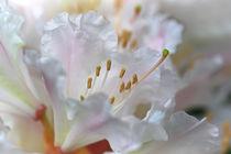 Rhododendronblüten von Bernhard Kaiser