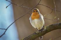 Robin by jazzlight
