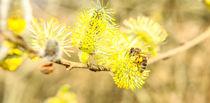 Wildbiene im Frühling von Jake Ratz