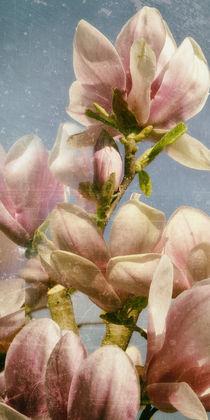 Magnolienblüte - Tulpenbaum von Chris Berger