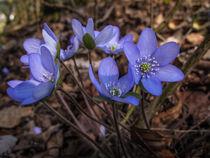 """Die """"Blauen"""" im Frühlingswald von Christine Horn"""