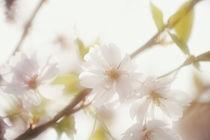 Blütenkirsche by Bastian  Kienitz