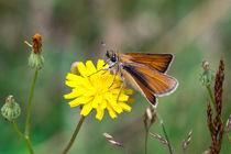 Rostfarbiger-Dickkopffalter auf gelber Wiesen-Blüte by Ronald Nickel