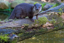 Otter auf Baum